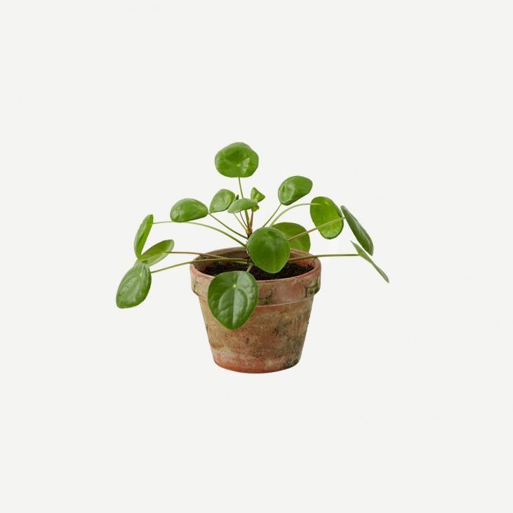 plante pilea interflora danmark. Black Bedroom Furniture Sets. Home Design Ideas